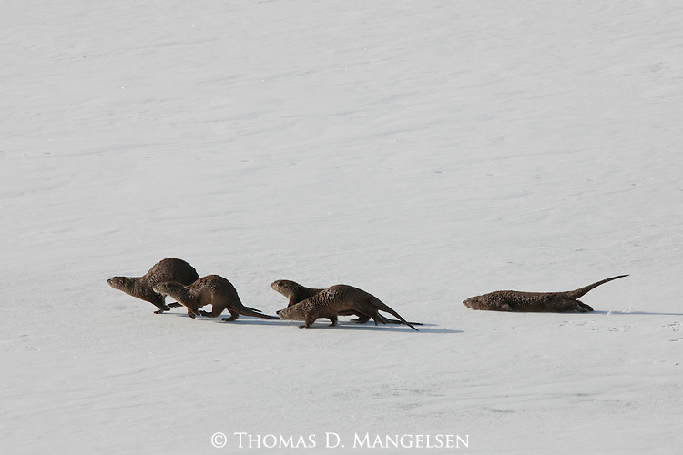 Northern river otters run and slide across the ice and snow of the frozen Snake River in Grand Teton National Park, Wyoming.
