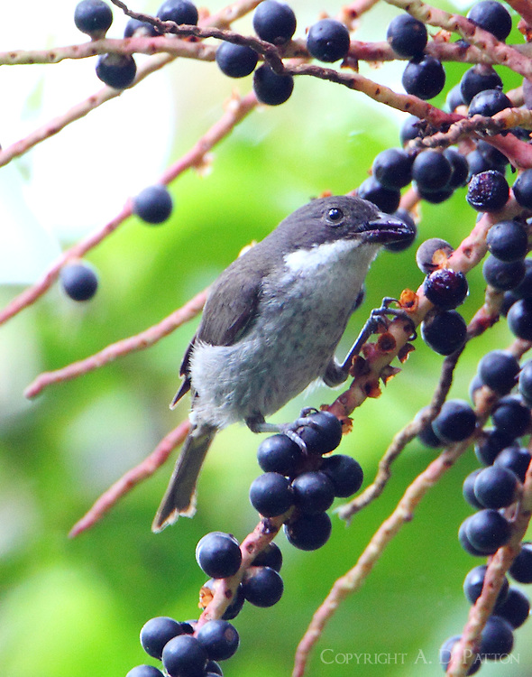 Puerto Rican tanager eating fruit