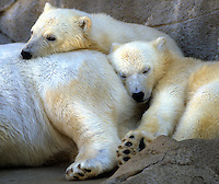 Polar bear cubs napping on mom at Hogle Zoo, Utah. Utah, Hogle Zoo.
