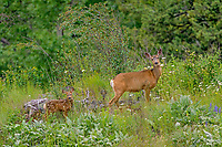 Mule deer (Odocoileus hemionus) doe with young fawn among wildflowers.  Colville National Forest, WA.  June.