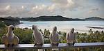 Cockatoos, Hamilton Island, Queensland, Australia