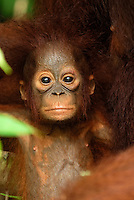 Borneo Orangutan baby (Pongo pygmaeus), young, Camp Leaky, Tanjung Puting National Park, Kalimantan, Borneo, Indonesia