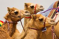 Young racing camels.  Dubai. United Arab Emirates.