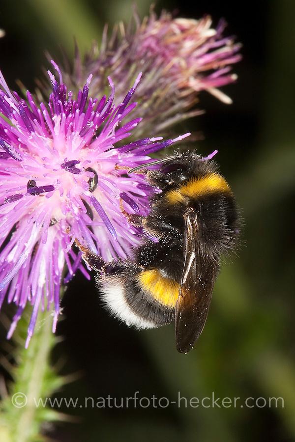 Dunkle Erdhummel, Bombus terrestris, beim Blütenbesuch auf Distel, Nektarsuche, Bestäubung, buff-tailed bumble bee