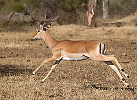 Impalas are perhaps the most common antelope in the greater Kruger area.