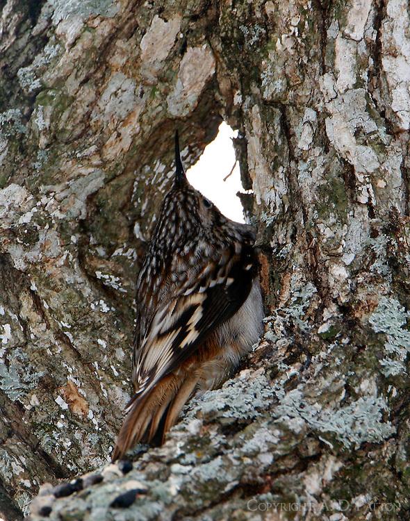 Adult brown creeper roosting