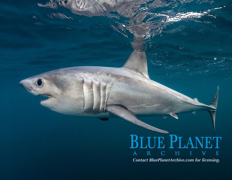 porbeagle shark, Lamna nasus, Nova Scotia, Canada, Atlantic Ocean