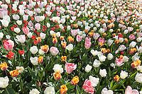 Hollande, région des champs de fleurs, Lisse, Keukenhof, tapis de tulipes composé de tulipe triumph 'Hemisphere', tulipe triumph 'India Summer', tulipe fosteriana 'Flaming Purissima', tulipes fosteriana 'Purissima' // Mix of tulips triumph 'Hemisphere', tulips triumph 'India Summer', tulips fosteriana 'Flaming Purissima', tulips fosteriana 'Purissima'.