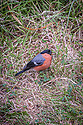 Bullfinch, garden in East Sussex, mid June.