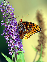 Aphrodite fritillary on butterfly bush