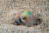 Hawaiian bobtail squid, Euprymna scolopes, hiding and being camouflaged under sands, endemic species, South Shore, Oahu, Hawaii, USA, Pacific Ocean