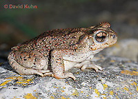 1101-0802  Adult Red-spotted Toad (Southwestern United States), Anaxyrus punctatus, formerly Bufo punctatus  © David Kuhn/Dwight Kuhn Photography.
