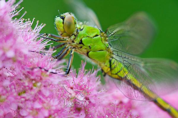 Female Western Pondhawk (Erythemis collocata) dragonfly on western spiraea (Spiraea douglasii).  Pacific Northwest.  Summer.