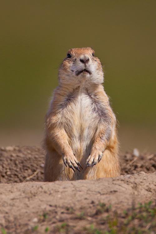Black-tailed Prairie Dog peeking out of its burrow