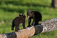 "Wild Black Bear (Ursus americanus) cubs.  Western U.S., spring. (This is what is known as ""coys""--cubs of the year.)"
