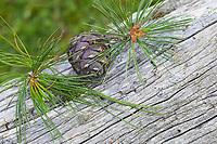 Zirbel-Kiefer, Zirbelkiefer, Zirbel, Zirbe, Arve, Zapfen, Zirbenzapfen, Nadel, Nadeln, Pinus cembra, Arolla Pine, Swiss pine, Swiss Stone Pine, Austrian stone pine, Stone pine, cone, cones, Le pin cembro, le pin des Alpes, l'arol, l'arole, l'arolle, l'arve, l'auvier, le pin arolle, le tinier