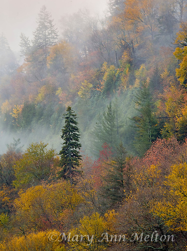 Fog surrounds fall trees at Great Smoky Mountains National Park