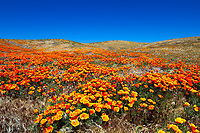 Thousands of beautiful, blooming springtime flowers in the Poppy State Natural Reserve of Antelope Valley, under a blue sky, Los Angeles California