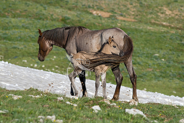 Wild Horse or feral horse (Equus ferus caballus) mare with colt--swishing tail helps keep biting flies away.  Western U.S., summer.