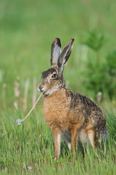 Brown Hare, Lepus europaeus, adult in meadow eating Dandelion flower, National Park Lake Neusiedl, Burgenland, Austria, Europe