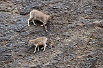 Female Himalayan blue sheep or bharal (Pseudois nayaur), also called the naur. Climbing on steep slopes. Himalayas, Ladakh, northern India.