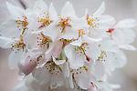 WA, Bellevue, Cherry Blossoms