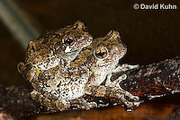 0805-0903  Pair of Mating Eastern Gray Treefrogs (Grey Tree Frog), Male Tightly Grasping Female, Hyla versicolor  © David Kuhn/Dwight Kuhn Photography