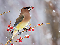 cedar waxwing, Bombycilla cedrorum, eating Canada holly berries - winterberry, Ilex verticillata, in winter in snow, Nova Scotia, Canada