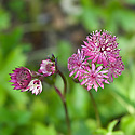 Astrantia major 'Ruby Wedding', end June.