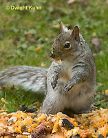 MA23-550z  Gray squirrel eating pumpkin fruit and seeds, Sciurus carolinensis
