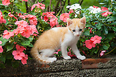 Parana, Brazil. Kitten on a wall with pink periwinkle flowers.