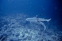 whitetip reef shark, Triaenodon obesus, courtship behavior - male, biting female, Pacific Ocean