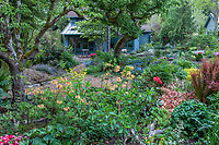 Rhododendron luteum among foliage textures in back yard  tapestry garden; O'Byrne Garden