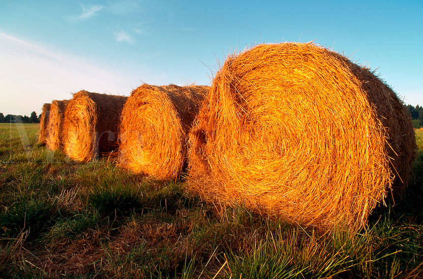 Rolled bales of golden hay in an agricultural field in late summer. Oregon.