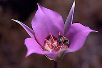 Mariposa Lily (Calochortus macrocarpus) blooming in Spring - aka Sagebrush Mariposa Lily - Insects collecting Pollen