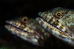 Pair of Lizardfish, Saurida sp., Banda Neira, Banda Sea, eastern Indonesia, Pacific Ocean
