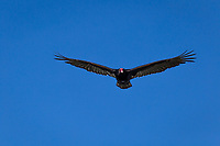 The bright red head readily identifies a Turkey vulture flying in a cloudless blue sky.