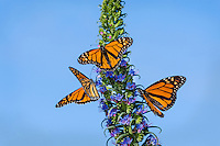Monarch butterflies (Danaus plexippus) nectaring along Big Sur Coastline, CA.  Fall.
