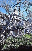 Merritt House:  Oak Tree in Courtyard.