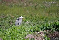 0111-0920  Great Blue Heron, Ardea herodias © David Kuhn/Dwight Kuhn Photography