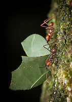Leafcutter ants (probably atta cephalotes)- Siquirres, Costa Rica.
