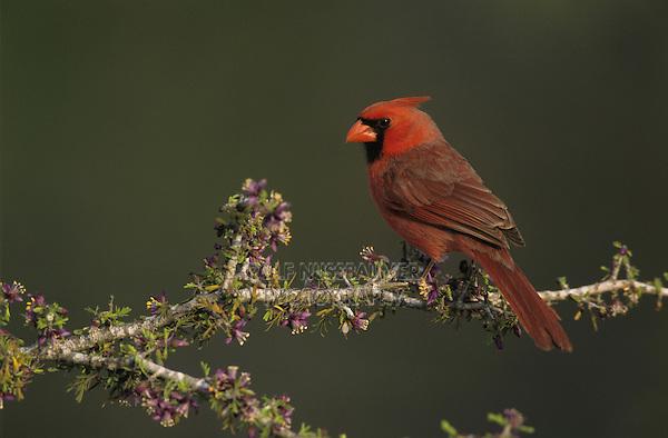 Northern Cardinal, Cardinalis cardinalis,male on blooming Guayacan (Guaiacum angustifolium) , Starr County, Rio Grande Valley, Texas, USA
