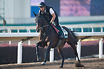 SHA TIN,HONG KONG-DECEMBER 09 : Tosen Basil,trained by Hideaki Fujiwara,exercises in preparation for the Hong Kong Vase at Sha Tin Racecourse on December 9,2017 in Sha Tin,New Territories,Hong Kong (Photo by Kaz Ishida/Eclipse Sportswire/Getty Images)