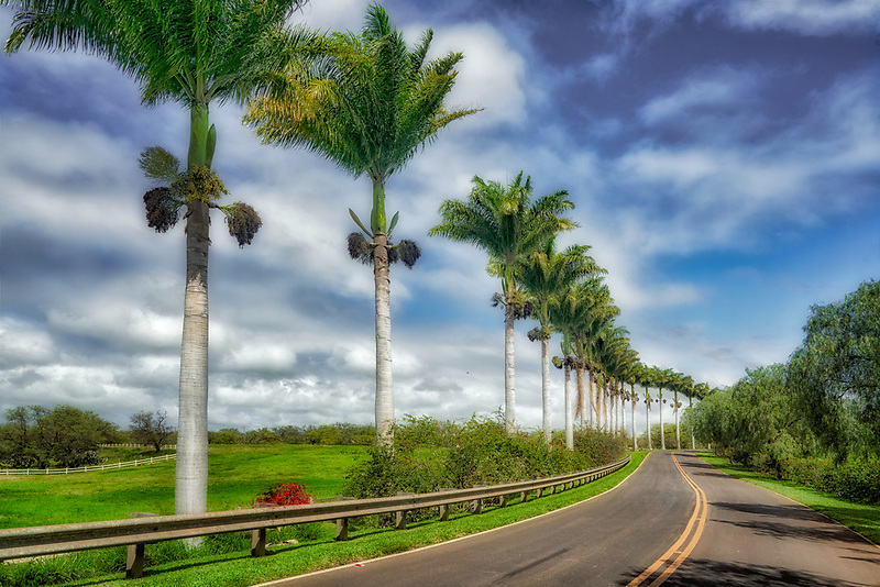 palm tree lined road. Mauai, Hawaii