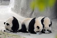Pandas  at the Chengdu Giant Panda Breeding and Research Base, China receive food with supplements added. The care and maintenance of the pandas has resulted is great success at the base and has helped establish an ideal breeding population..
