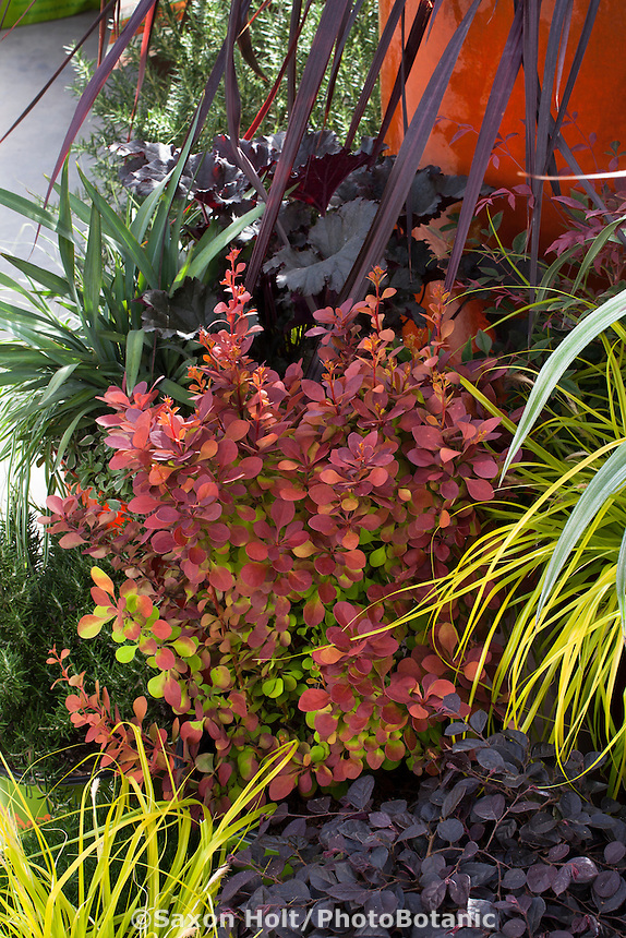 Berberis shrub in container with fresh, ruddy foliage; Sunset Collection