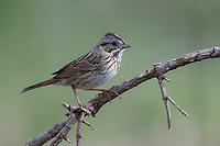 Lincoln's Sparrow (Melospiza lincolnii alticola), resting at the Paton Center for Hummingbirds, Patagonia, Arizona.