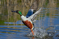 Northern Shoveler (Anas clypeata) drake jumping/taking flight off pond.  Oregon-California border.  Late winter/early spring.