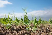 Vining pea plants - Lincolnshire, April