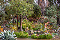 Brachychiton rupestris (Queensland Bottle Tree) with Agave ovatifilia; The Garden Conservancy, Ruth Bancroft Garden, Walnut Creek, California